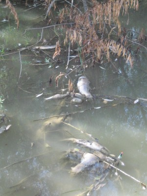 Investigan una nueva mortandad de peces en el Guadaíra en el término de Dos Hermanas