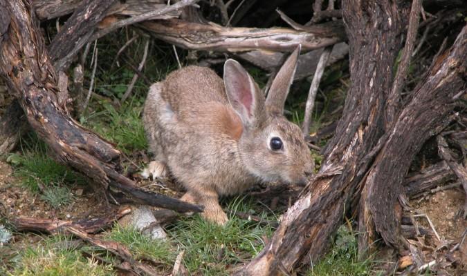 La caza del conejo silvestre enfrenta a agricultores y ecologistas