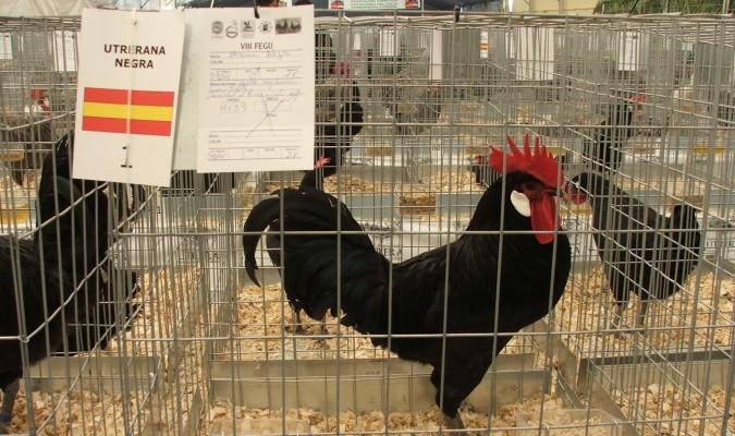 La gallina utrerana gana prestigio