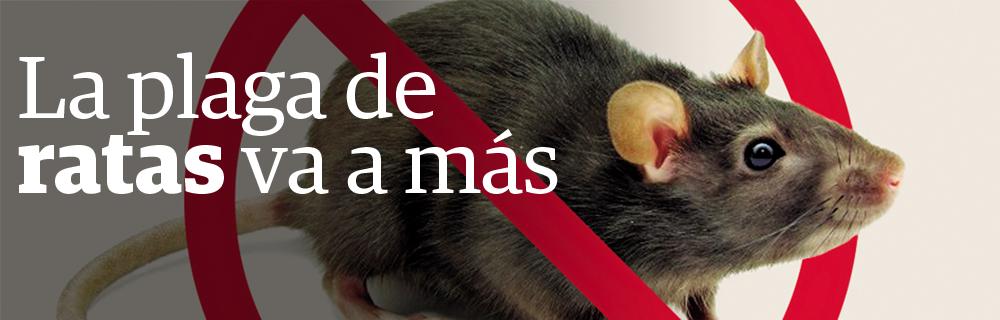 La plaga de ratas va a más