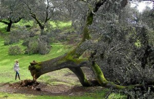 Encinas y alcornoques centenarios cayeron por efecto de la nevada en una dehesa de la Sierra Norte de Sevilla.