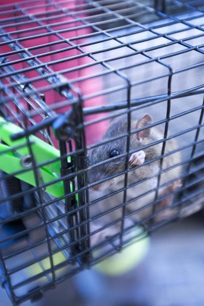 La rata que el año pasado atacó a una vecina del Tiro de Línea