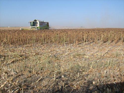 Una cosechadora en un campo de girasol. / EL CORREO