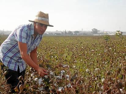 El joven palaciego José Antonio Falcón, en el algodonal con el que ahora se gana la vida.