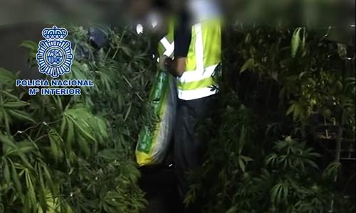 Plantación marihuana en Dos Hermanas.