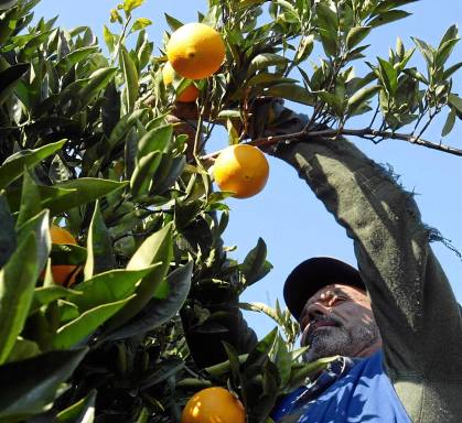 Labores de recogida de la naranja en una finca de la provincia de Sevilla. / PACO CAZALLA