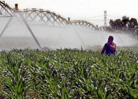 Imagen de una plantación de maíz en una finca en la provincia de Sevilla.