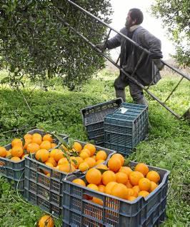 Un jornalero recoge naranjas en una finca de La Algaba. / Pepo Herrera