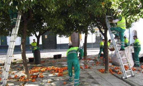 recogida-naranjas