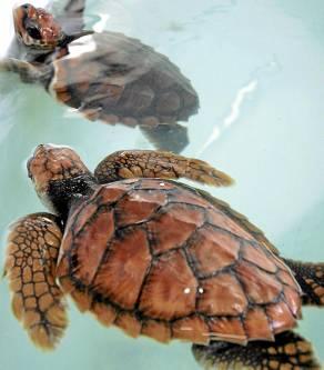 Una pareja de tortugas acuáticas.