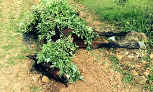 Yegua encontrada en Villanueva bajo unas hojas.