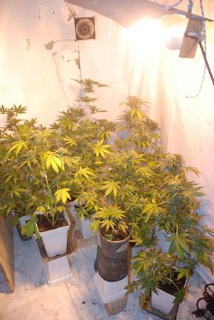 marihuana-triana
