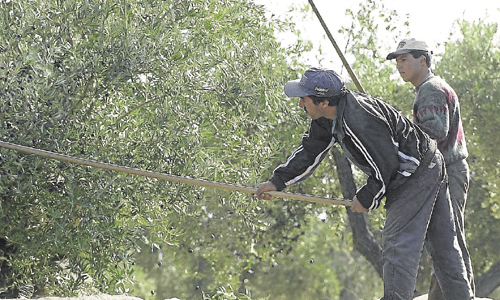 Jornaleros durante la campaña de la aceituna en la provincia de Jaén. / Foto: Agustín Muñoz