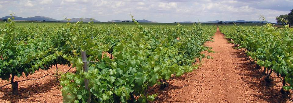 Viñedos ubicados en la comunidad de Castilla-La Mancha y pertenecientes a una de las cooperativas vitivinícolas que integran el Grupo Baco. / EL CORREO