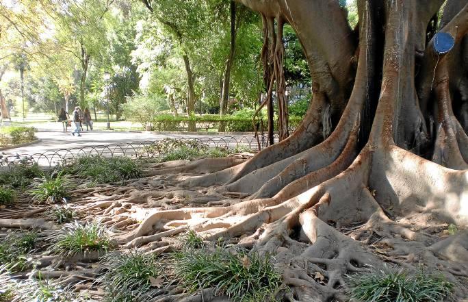 Las raíces caen desde las ramas o bien se extienden como una marea creciente por la base de este colosal árbol de las lianas, cerca de la Avenida de María Luisa.