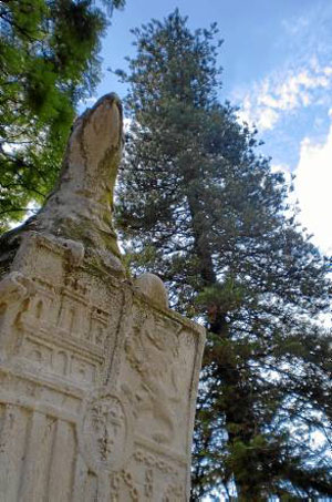 La araucaria australiana que se alza junto a la Glorieta de Cervantes. Foto: C.R.
