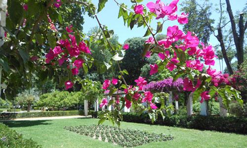 Las pérgolas repletas de buganvillas median entre la Avenida de Pizarro y la Fuente de los Leones, uno de los espacios más bellos y visitados del parque. / Foto: C.R.