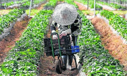 Una trabajadora inmigrante en una explotación de fresas de la localidad onubense de Cartaya. / GREGORIO BARRERA