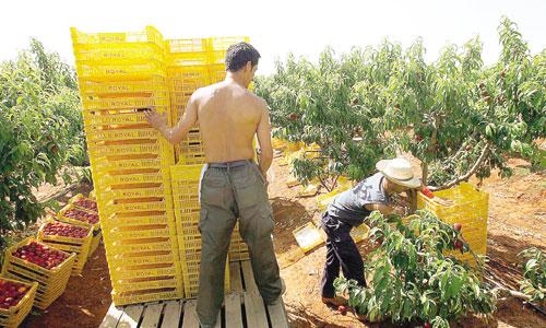 Labores de recogida de nectarinas en una finca de la sociedad agraria de transformación ROYAL en la localidad sevillana de San José de la Rinconada. / Foto: Gregorio Barrera