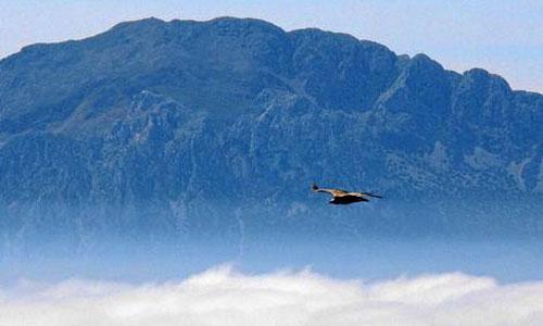 En la imagen superior se muestra a un buitre leonado en pleno vuelo.