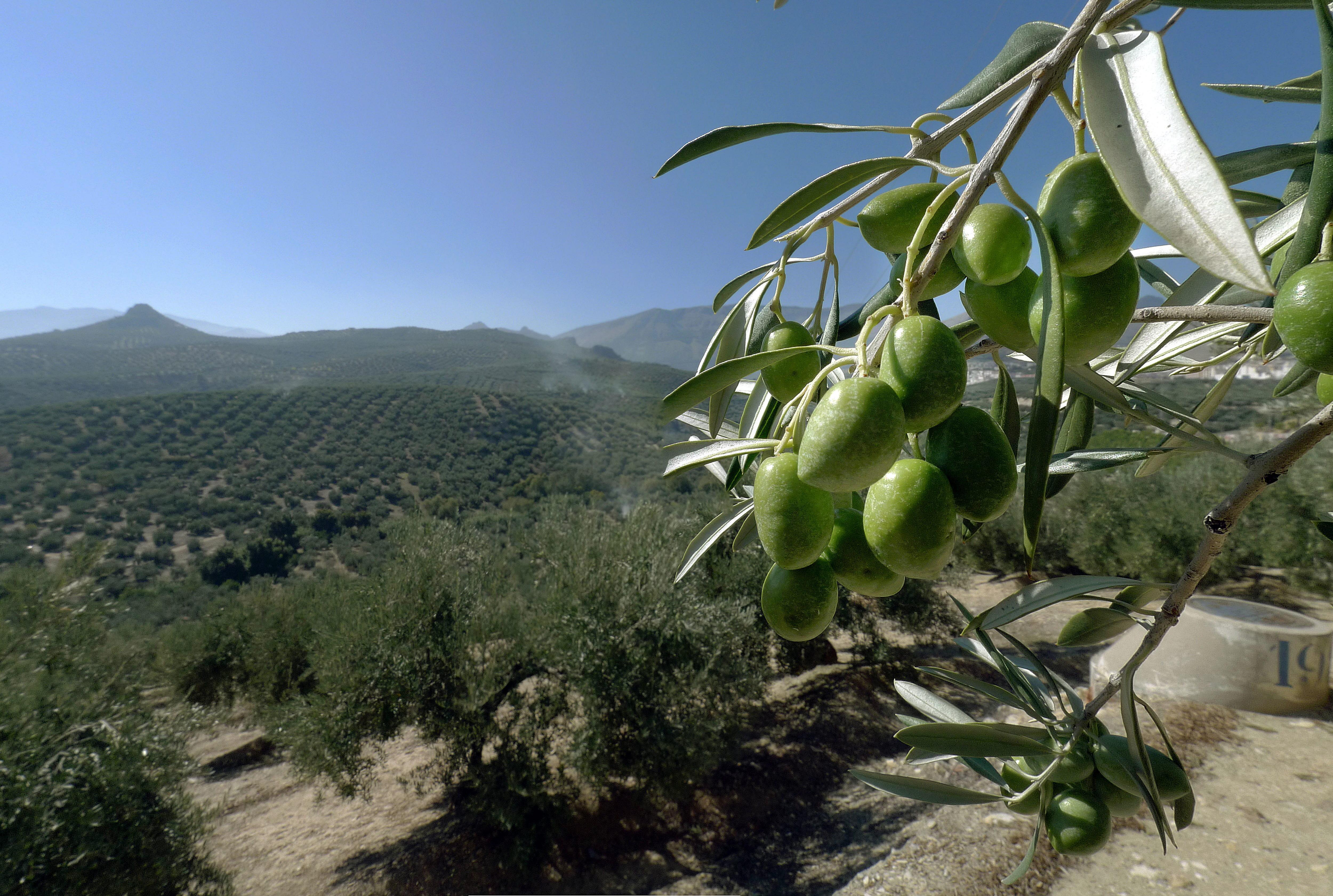 El aceite de oliva es la producción agroalimentaria andaluza que mayor volumen de ayudas recibe. / JOSÉ PEDROSA (EFE)