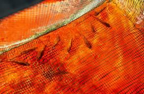 Los peces que se utilizan son de la especie tilapia. / Pepo Herrera