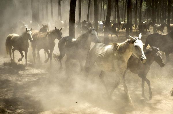 Un grupo de yeguas pasa por un pinar del Parque Nacional de Doñana en la Saca de las Yeguas. EFE/Julián Pérez