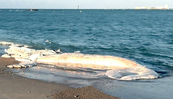 Imagen de la ballena varada. / Ayuntamiento de Chiclana