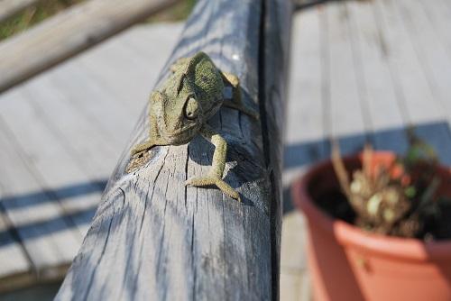 Ejemplar de camaleón común. Foto: Laura López