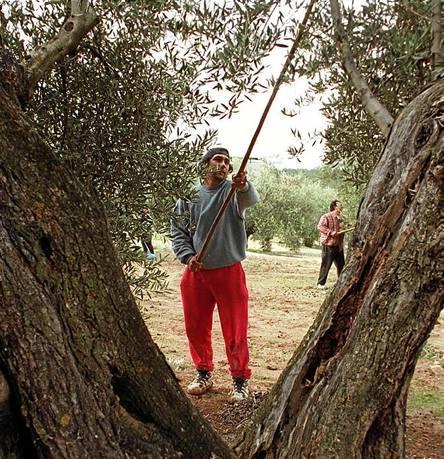 Un jornalero varea un olivo durante la campaña de recogida de la aceituna en una finca de la provincia jienense. / EL CORREO