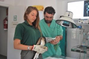 Paula Arenas y Juan Carlos Capuz preparan a un ejemplar de águila calzada para ser intervenido de una fractura. Foto: Laura López