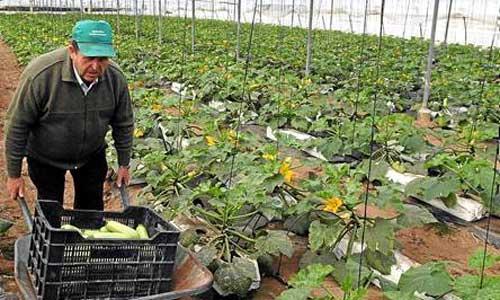 Un agricultor recoge calabacines en un invernadero de Los Palacios y Villafranca. / GREGORIO BARRERA