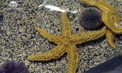 estrella-de-mar