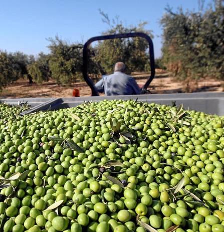 Recolección de aceituna de mesa en una explotación olivarera del Aljarafe sevillano. / JAVIER CUESTA