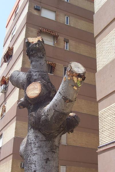Así se ven a veces los árboles de Sevilla tras el paso por ellos de la sierra de podar. / jardinesdelaoliva.wordpress.com