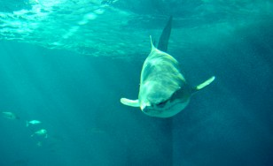 Tiburón en el Acuario de Sevilla