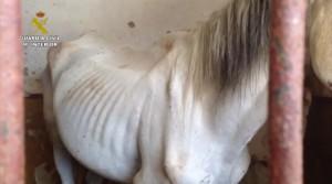 Uno de los caballos desnutridos que encontraron los agentes.