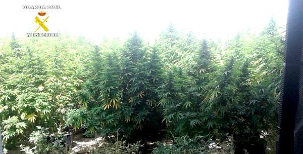 Detenido con una plantación de marihuana en Las Cabezas (Sevilla)