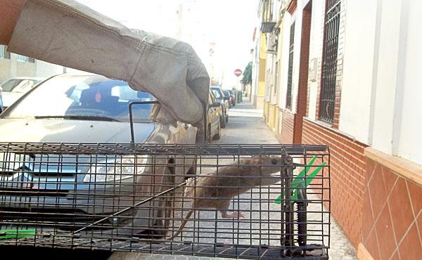 Ya en agosto de 2012 una vecina del Tiro de Línea fue atacada por la rata de la imagen mientras dormía. / J.M. Espino