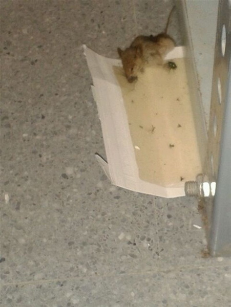 El roedor que ha sido descubierto y cazado en los juzgados utreranos. / El Correo
