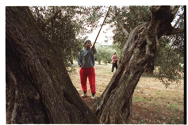 El olivo es el cultivo con mayor volumen de ayudas en Andalucía. / EL CORREO
