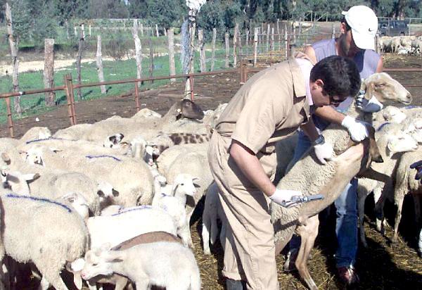 El brote de lengua azul ha aparecido por unas muestras de ovino procedentes de cinco explotaciones de Guadalmez (Ciudad Real). / EFE