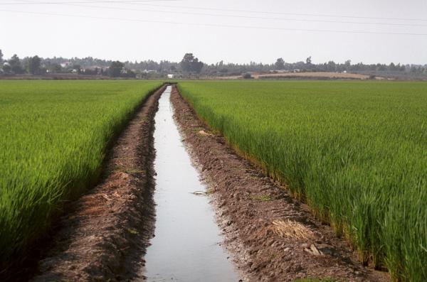 Campos de arroz en el pueblo arrocero por excelencia en la provincia de Sevilla: Isla Mayor. /  CARLOS HERNÁNDEZ