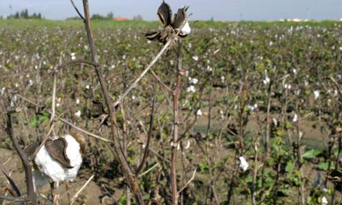 cosecha-algodon