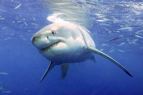 Un tiburón blanco. / E.P.