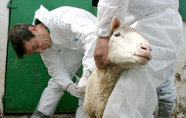Dos veterinarios vacunan al ganado contra la enfermedad de la lengua azul en una finca gaditana en 2004. /  Carrasco Ragel (EFE)
