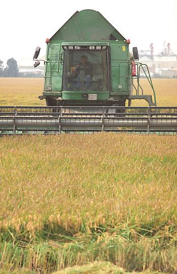 Recogida del arroz en Isla Mayor. / David Estrada