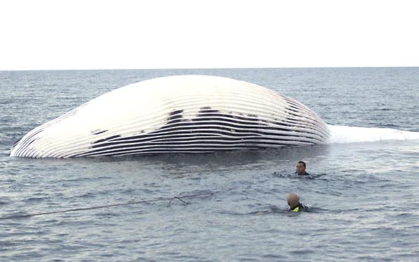 Cetáceo de más de 16 metros de largo encontrado en Almería. / EFE