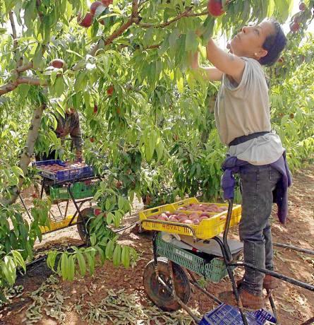 Una jornalera recoge melocotones en una finca próxima a la localidad de La Rinconada. / GREGORIO BARRERA