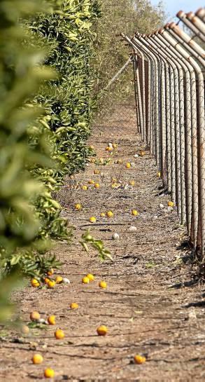 Caída de naranjas en una finca de Benacazón por las lluvias. /JULIO MUÑOZ (EFE)